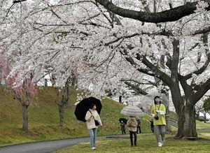 傘を手に満開となった園内の桜を楽しむ家族連れ=17日午前、八戸市の八戸公園