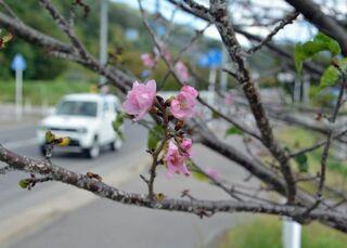 秋なのに桜の花咲く/黒石の国道沿い