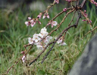 弘前枝垂れ、一足お先に/弘前公園・本丸近く/園内のソメイヨシノは21日開花か