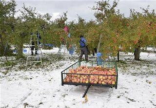 リンゴジュース専用園地 板柳で初収穫