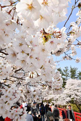 桜の名所、弘前公園のこの時期限定!絶景ポイント