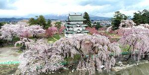 新型コロナウイルス感染拡大防止のため4月10日から閉鎖されている弘前公園で、今年も2600本の桜が咲き誇った。園内では天守、岩木山と、ソメイヨシノ、シダレザクラとが共演する津軽の絶景が、見る人もいないまま、ひっそりと広がっていた=4月27日(東奥日報空撮チーム、許可を得て小型無人機で撮影)