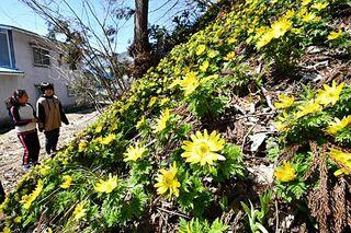 春満開 一面にフクジュソウ/黒石・大川原