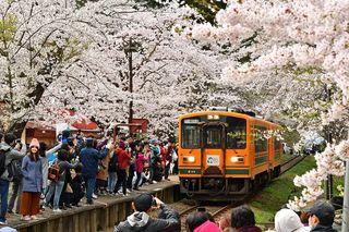 桜のトンネルが列車包む 金木桜まつり開幕