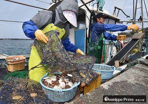 順調な成育ぶりが報告された陸奥湾産ホタテ半成貝の水揚げ作業=今年4月、平内町稲生漁港