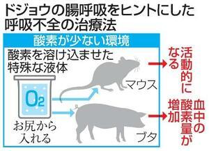 ドジョウの腸呼吸をまねた呼吸不全の治療法