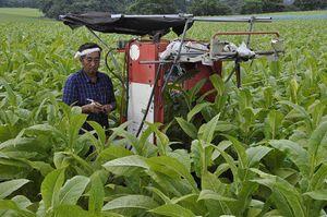 葉タバコ畑で、薬を散布する県たばこ耕作組合の熊林支部長。生産者の高齢化などで「この先、厳しい時代になる」と見通す=24日、三戸町貝守