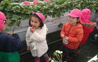 観光農園ハウスに真っ赤なイチゴ/八戸・南郷