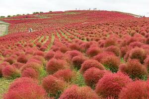赤く色づいた国営ひたち海浜公園のコキア=13日、茨城県ひたちなか市