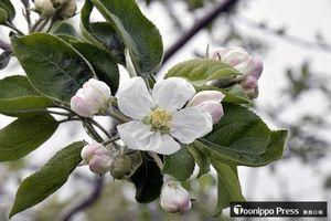 平年より6日早く開花が発表された、りんご研究所の「ふじ」。過去6番目の早さだ=2日午後1時47分、黒石市牡丹平