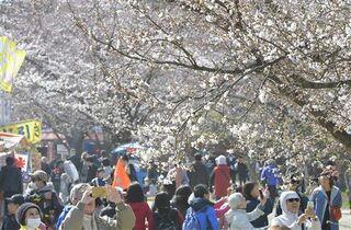 弘前公園の桜 まつり中止で動画配信検討