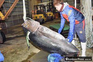 大間漁港に水揚げされた大型クロマグロ。資源管理に伴う来期の漁獲減が懸念されている=今年1月4日