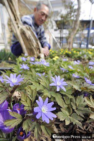 折からの暖気で満開を迎えたイチリンソウやフクジュソウの花々
