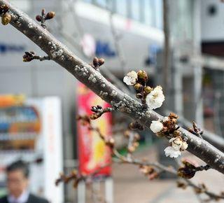十月桜咲き始め、早春の気配/弘前
