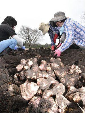 土から掘り起こされたばかりの赤菊芋。くせがなく食べやすいため菓子、料理など可能性が広がる=4月24日、青森市合子沢