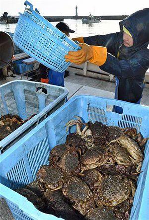 今年のかご漁が解禁となり、蟹田漁港に初水揚げされたトゲクリガニ