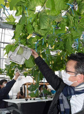 メロン水耕栽培 補光効果で2作目順調