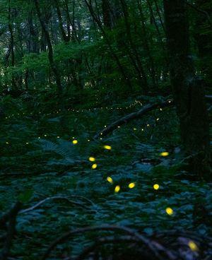 森を背景に思い思いに描かれたヒメボタルの光跡=13日午後7時50分ごろ、十和田市休屋の十和田神社付近(高感度で約1分30秒露光)