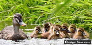 草むらの近くで寄り添って泳ぐカルガモの親子=15日午後、青森市の沖館川