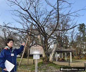 「遅咲きの桜の道」で弘前公園でしか見られない新品種「弘前雪明かり」の原木をPRする橋場さん=弘前公園三の丸ピクニック広場