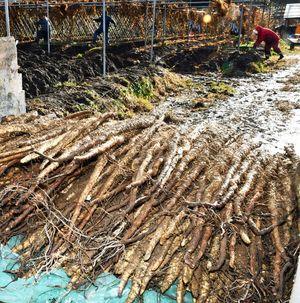 収穫後、トラックの荷台に積み上げられた長さ1メートルほどの自然薯=19日午後2時ごろ、平川市碇ケ関地区