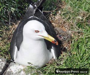 親鳥に寄り添う、生まれたばかりのウミネコのひな=16日午後1時半、八戸市の蕪島