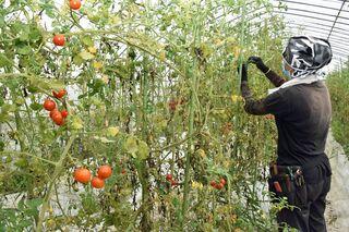 青森の建設会社が蓬田で高糖度トマト生産