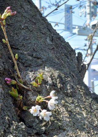 春風に揺れ 桜胴吹き/八戸・長根公園