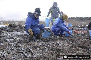 横浜町新丁地区の海岸に漂着したイワシを拾い集めるボランティア参加者=28日午前10時半ごろ