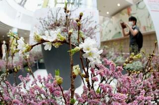 五輪の桜「来年こそは」、札幌