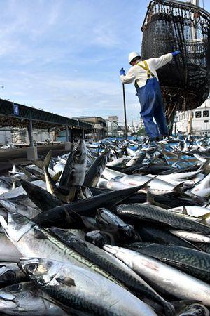 大中型巻き網船が今期初めて水揚げしたサバ=3日午前6時51分、八戸港第1魚市場