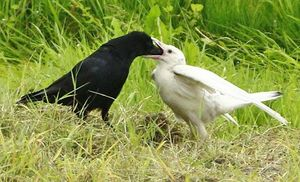 親鳥と見られる黒いカラスから餌をもらう白い幼鳥=21日、平川市碇ケ関