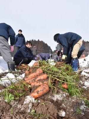 雪の下から掘り出された「雪掘にんじん」=六ケ所村倉内地区