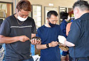 県職員(右手前)から指導を受けながら、ナマコに注射する漁師たち