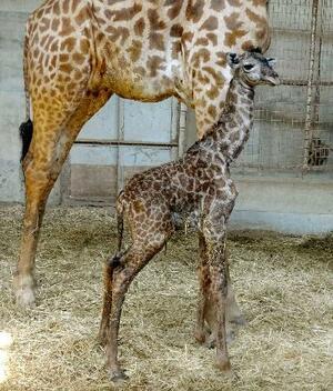 生まれたばかりのマサイキリンの赤ちゃん=1日午後、宮崎市(宮崎市フェニックス自然動物園提供)