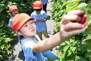 ラズベリーを収穫する園児ら