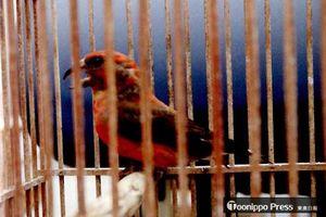 違法に飼育され、押収されたイスカ(青森署提供)