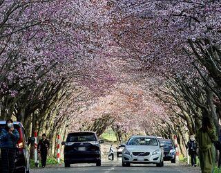 岩木山麓「世界一の桜並木」見ごろ
