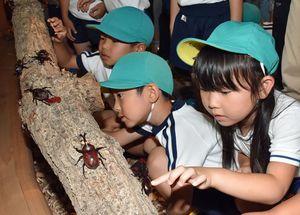 カブトムシを放し観察する園児たち
