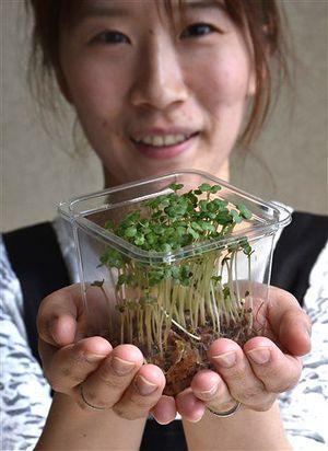 成長した菜の花スプラウト。販売時は根を切り、パックに詰めた形となる