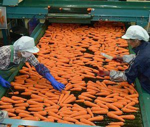 水洗い後のニンジンを選別する職員たち
