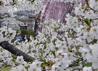 三戸・城山公園のソメイヨシノ見ごろ