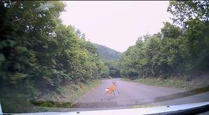 八甲田の青森市側でドライブレコーダーに写り込んだニホンジカ=8日午後5時ごろ