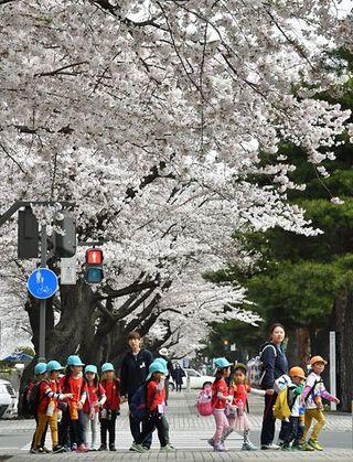 十和田市官庁街の桜、一気に満開