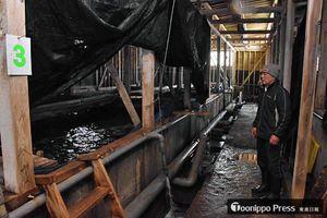 金メバルの泳ぐ水槽には遮光シートをかけ、光が入るのを防いでいる。右は養殖を行っている伊藤文雄さん=4月、外ケ浜町