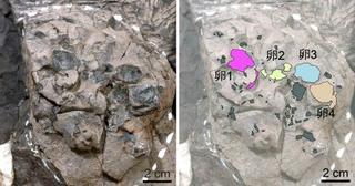 1億年前の卵さらに5点、兵庫