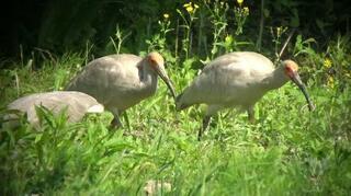 トキ76羽が巣立ち繁殖期終了