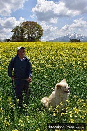 残雪の岩木山をバックに黄色に染まる菜の花畑。地元の人気犬わさおも散歩で訪れていた=7日午前、鯵ケ沢町山田野地区