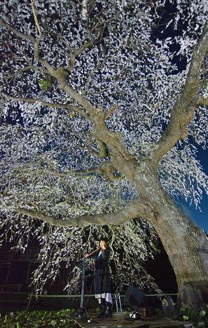 夜空に浮かぶ桜の下で、幻想的なバイオリンの音色を響かせたmeguさん