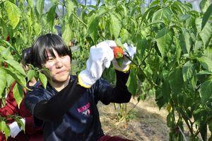 ジョロキアを収穫する中里高校の生徒